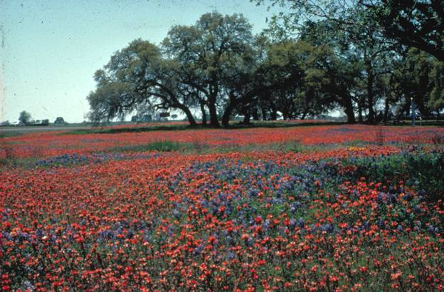 Field of blue and red flowers